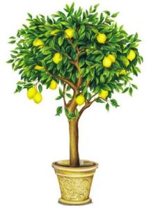 lemon tree2